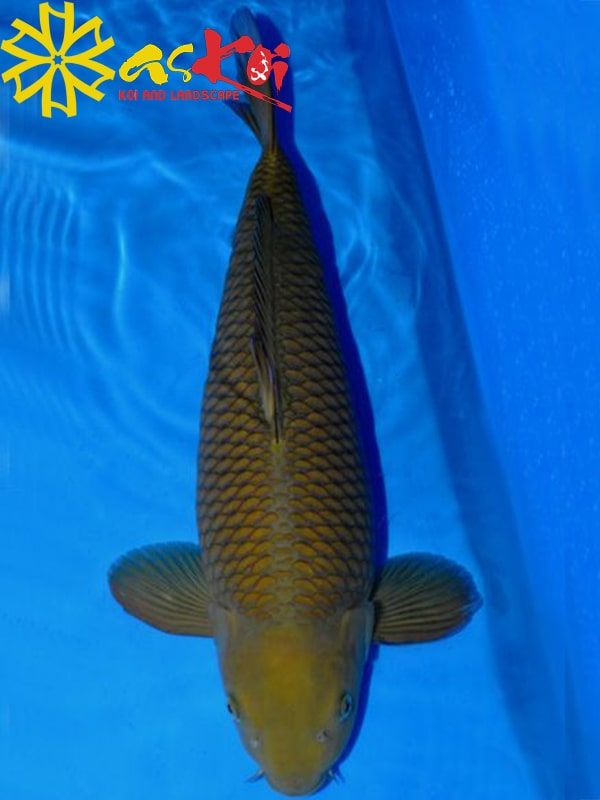 Chagoi Size 10 – 65 Cm