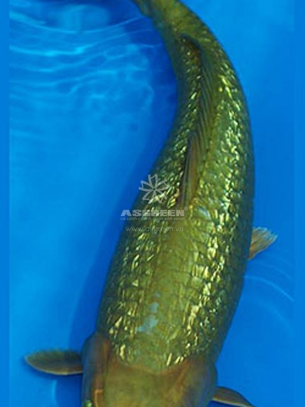 Cá koi Ginrin Midorigoi