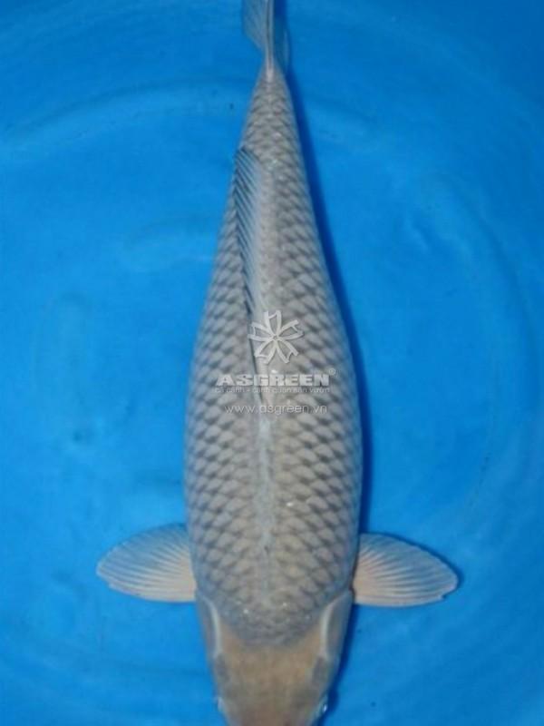 Cá koi Soragoi