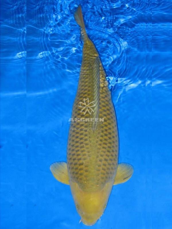 Cá koi Chagoi