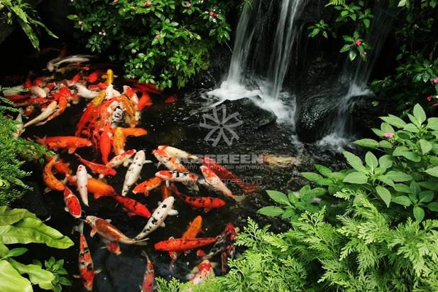 13515132994_d9f956f8b1_b Cách nuôi cá Koi trong hồ xi măng