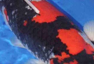 Sumi của cá koi Showa to và rộng
