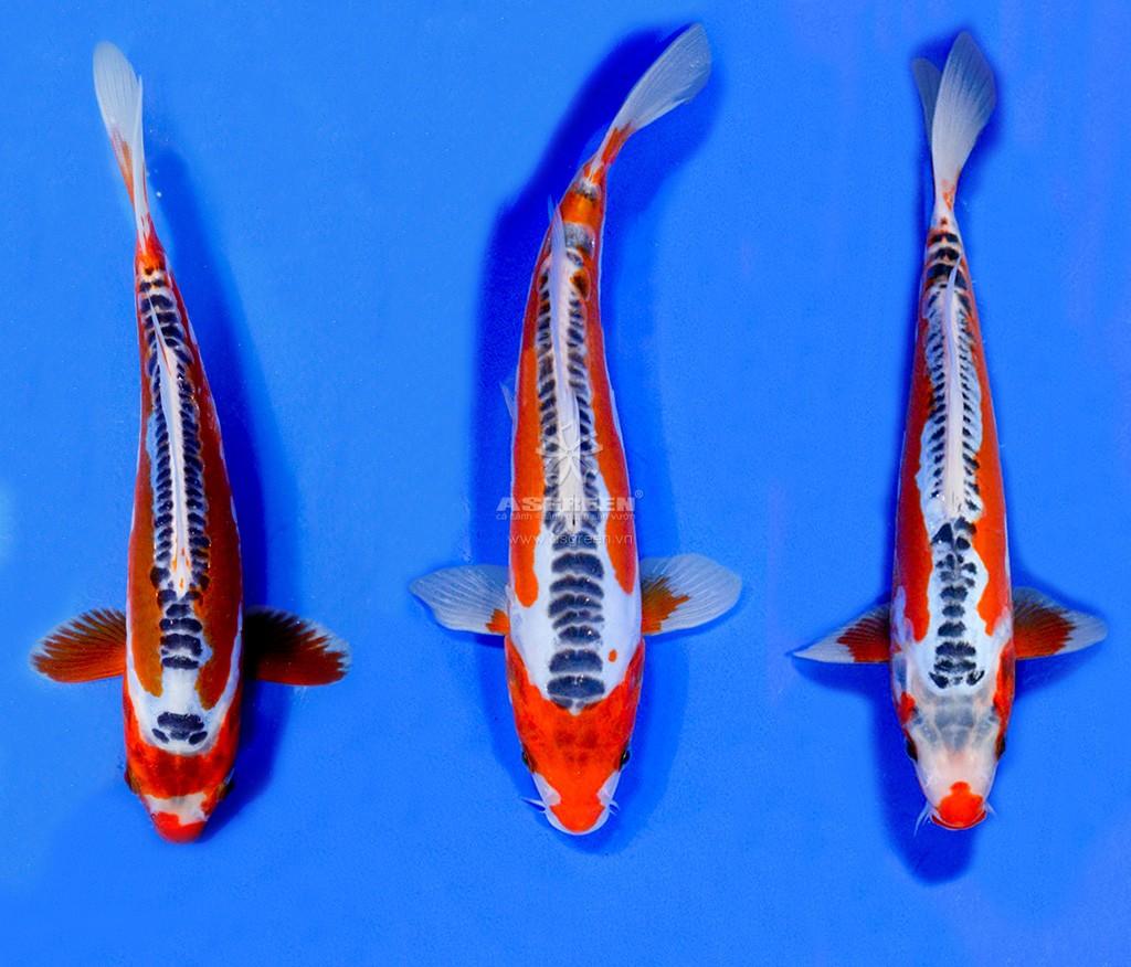 Cá Koi Shusui có vẻ đẹp rất riêng