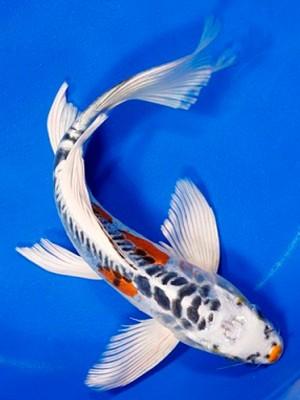 Cá Koi Bướm – Assorted Butterfly Koi