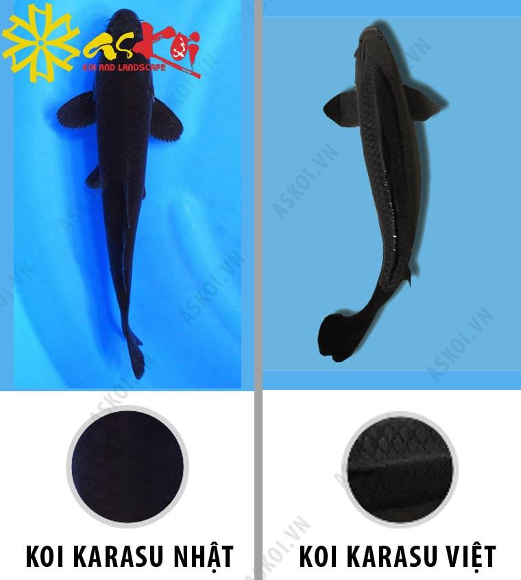 Phân biệt cá Koi Karasu Nhật Bản và Karasu Việt