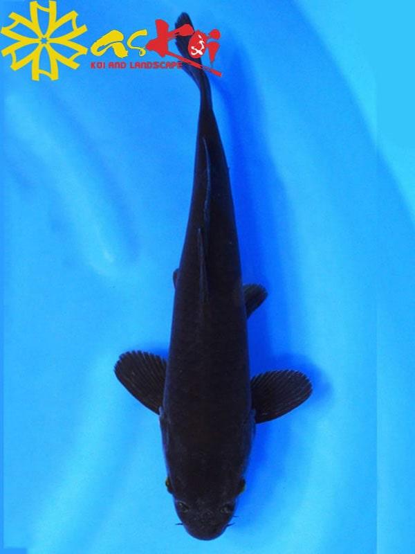 Karasu Size 10 – 65 Cm