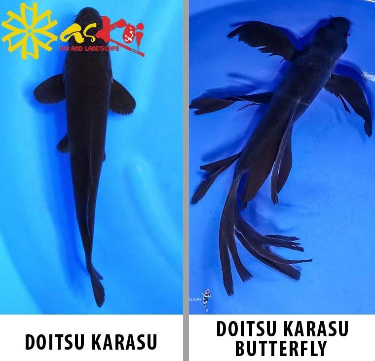Các dòng cá Koi karasu chính