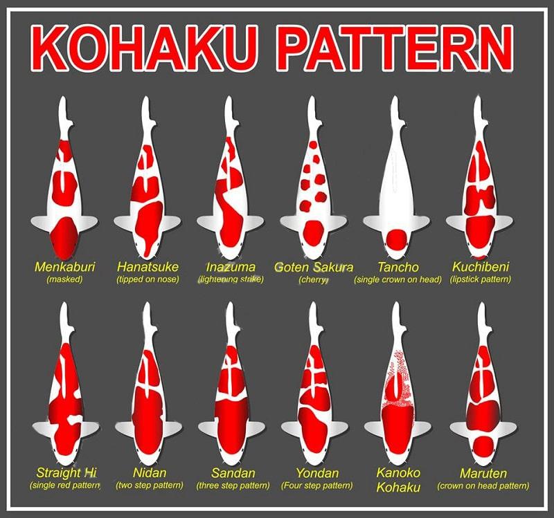 Phân loại cá Koi Kohaku