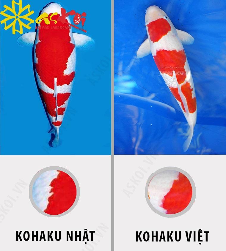 Phân biệt Koi Kohaku Nhật và Kohaku Việt