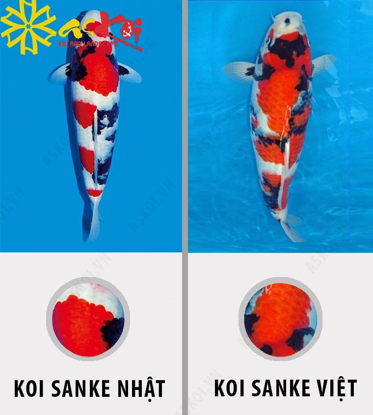 Phân biệt cá Koi Sanke Nhật và Sanke Việt
