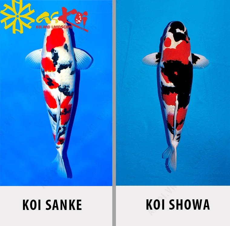 Phân biệt cá koi Sanke và koi Showa