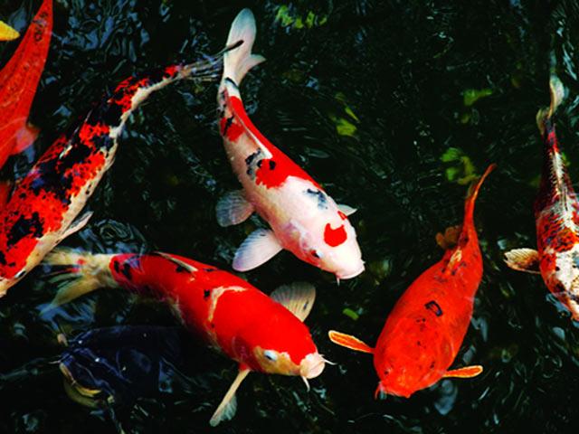 Cá Koi Sanke nếu được chăm sóc tốt sẽ lên màu rất đẹp mắt