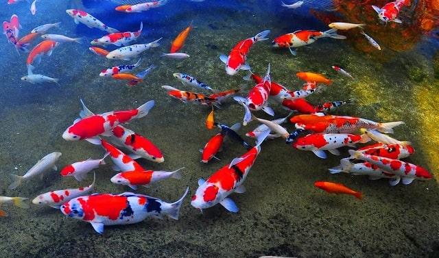 Sanke khiến cho hồ cá Koi trở nên đặc biệt hơn rất nhiều