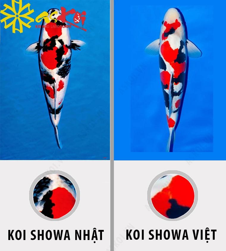 Phân biệt cá Koi Showa Nhật Bản và Showa Việt Nam