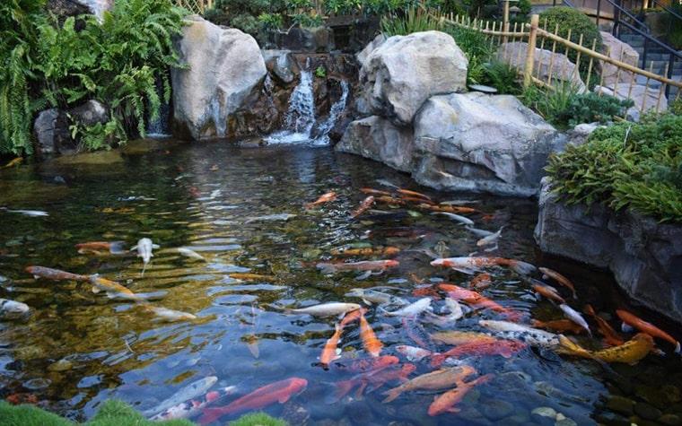 Showa có thể kết hợp với các loại cá Koi khác để tạo nên một hồ cá Koi đẹp