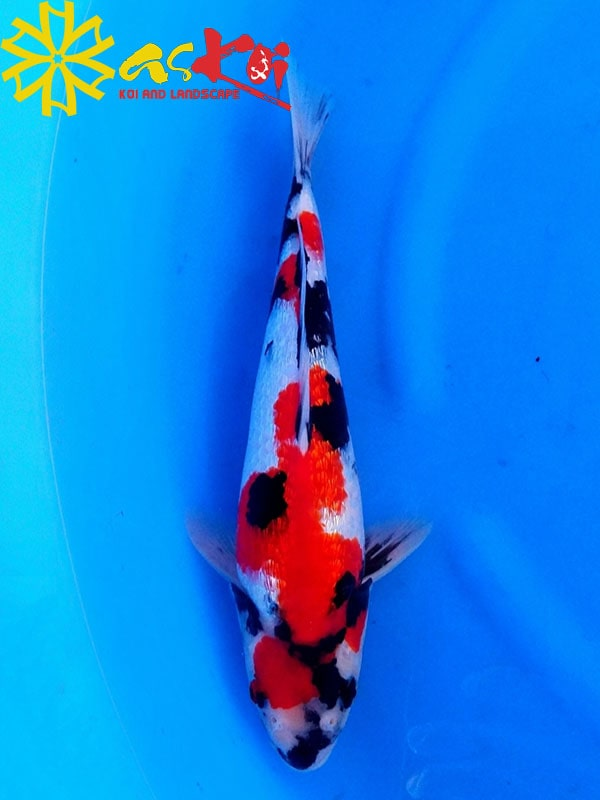 Showa size 10 – 65 cm 3