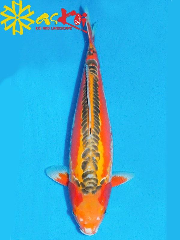 Shusui size 10 – 65 cm 4