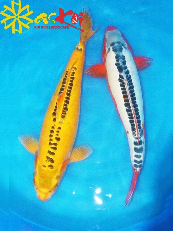 Shusui size 10 – 65 cm 2