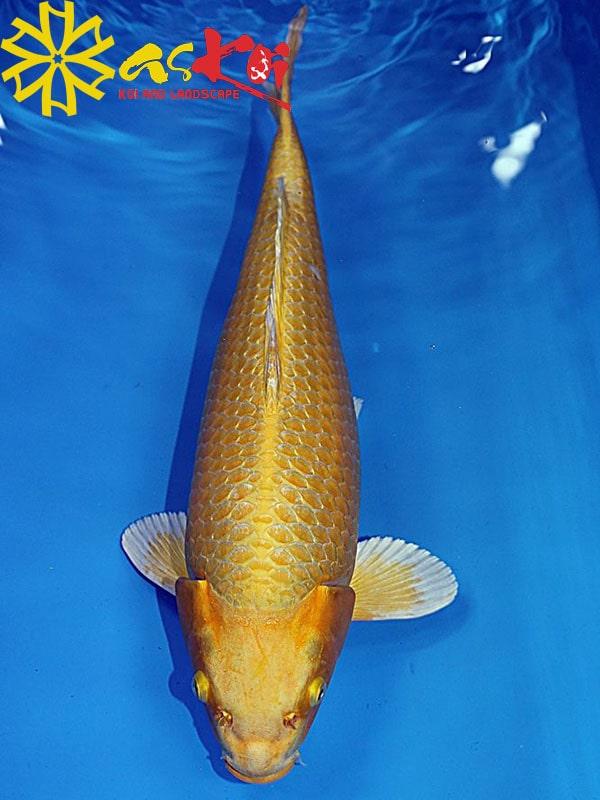 Yamabuki Ogon Size 10 – 65 Cm