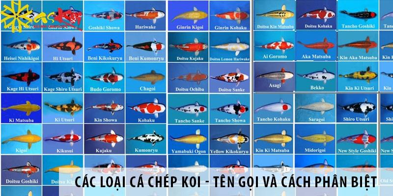 Các Loại Cá Chép Koi Nhật Bản -tên Gọi Và Cách Phân Biệt