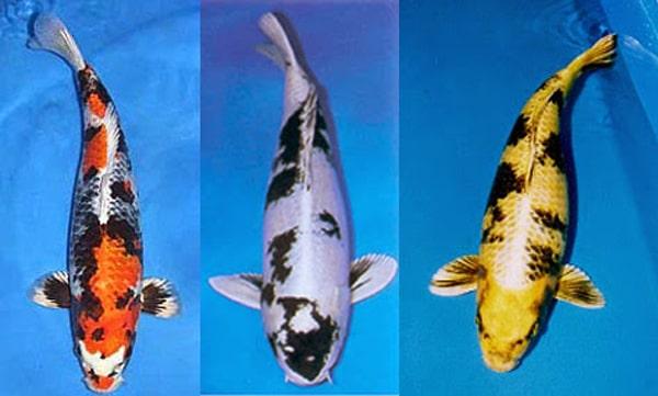 Các loại cá chép koi Nhật Bản -tên gọi và cách phân biệt 6