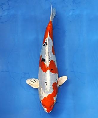 Các loại cá chép koi Nhật Bản -tên gọi và cách phân biệt 8