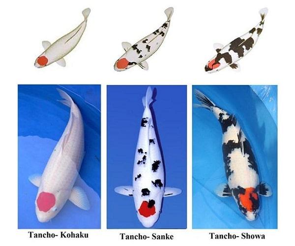 Các loại cá chép koi Nhật Bản -tên gọi và cách phân biệt 4