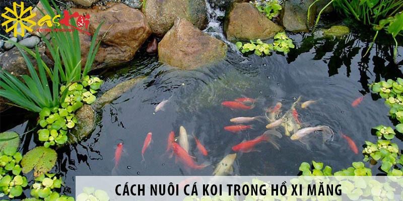 Cách Nuôi Cá Koi Trong Hồ Xi Măng