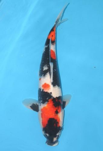 Con giống cá Koi Nhật Bản Showa đẹp