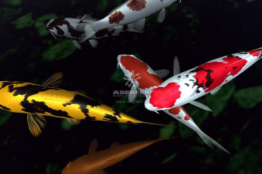 ho-ca-koi-asvn Hồ cá Koi bị đục nguyên nhân và hướng khắc phục
