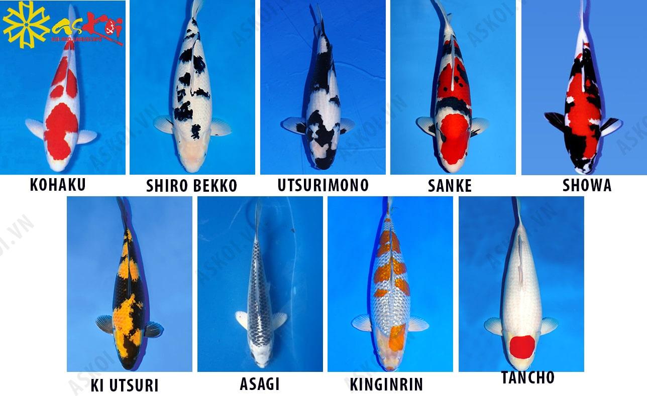 8 dòng cá koi Nhật phổ biến trên thị trường