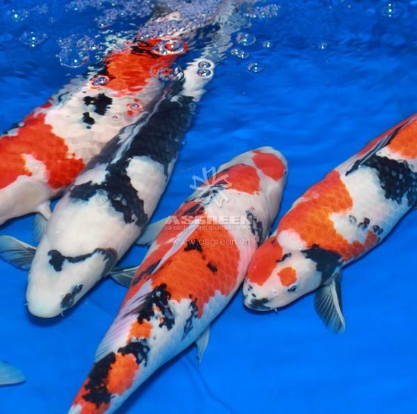 showa koi fish-1