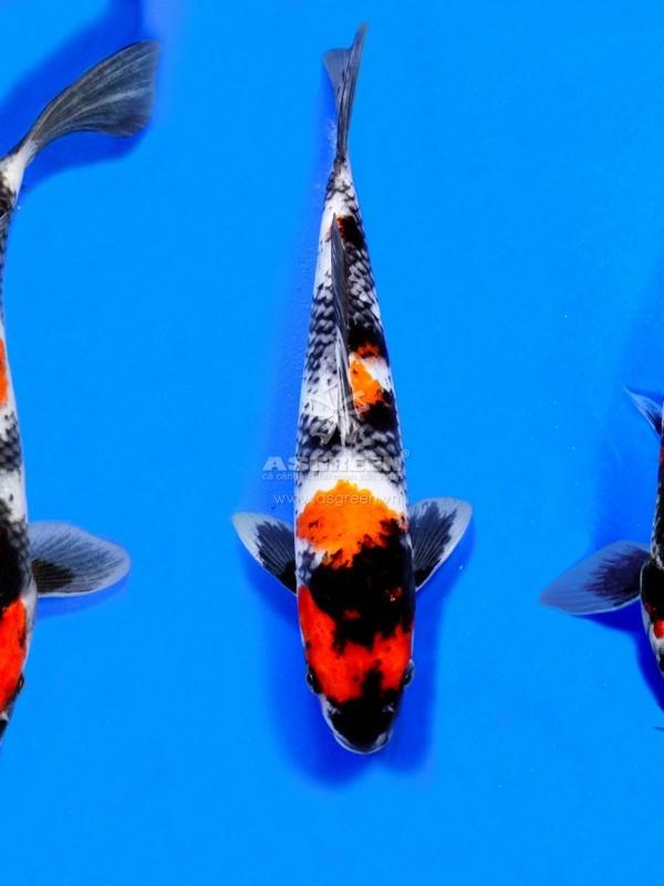 showa koi fish -2
