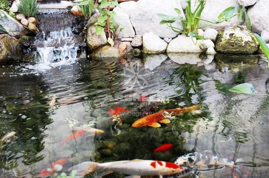 ve-sinh-ho-ca-koi-thuong-xuyen Có nên vệ sinh bộ lọc hồ cá koi thường xuyên không?