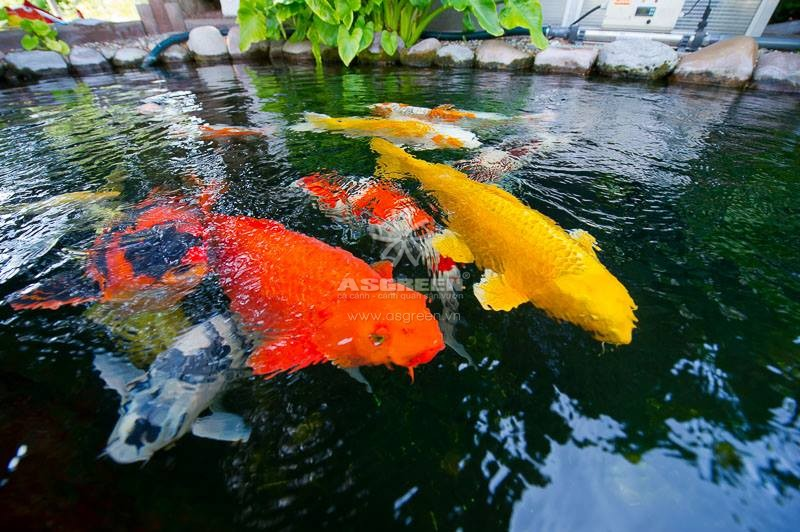 ve-sinh-ho-ca-koi Có nên vệ sinh bộ lọc hồ cá koi thường xuyên không?