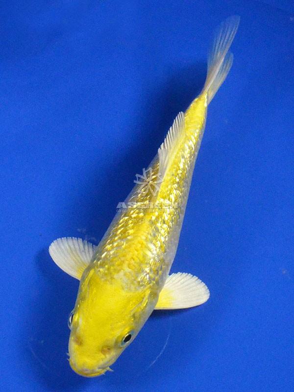 Cá Koi Yamabuki Ogon