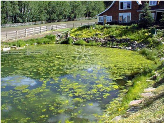 Xử Lý Ao, Hồ Cá Cảnh Trang Trí Vào Mùa Xuân – Cách Nào Ngăn Chặn Tảo Nở Hoa?