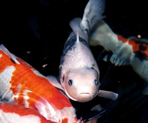 Dấu hiệu cá koi nổi đầu bị bệnh