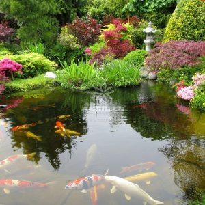 Mẫu hồ cá Koi truyền thống Nhật Bản 30