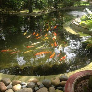 Mẫu hồ cá Koi truyền thống Nhật Bản 36