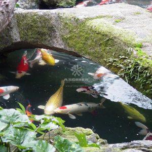 Mẫu hồ cá Koi truyền thống Nhật Bản 39