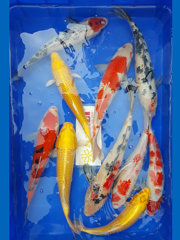 Cá Koi Size +-30 – Combo 2