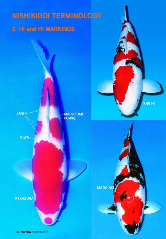 Cách chọn cá koi đẹp, tiêu chuẩn, không lỗi tật