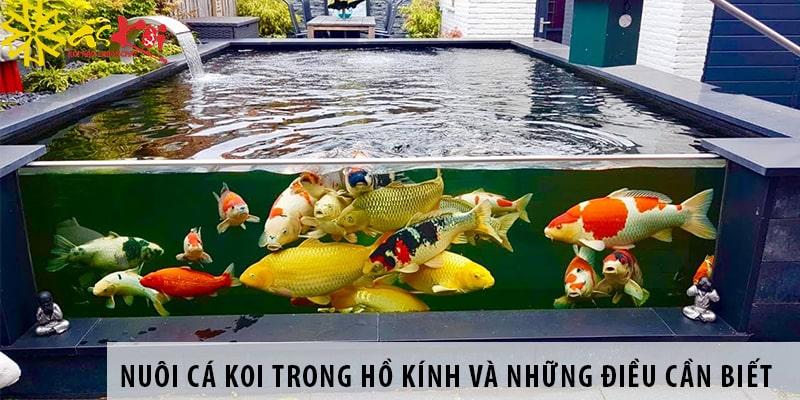 Nuôi Cá Koi Trong Hồ Kính Và Những Yếu Tố Kỹ Thuật Cần Biết