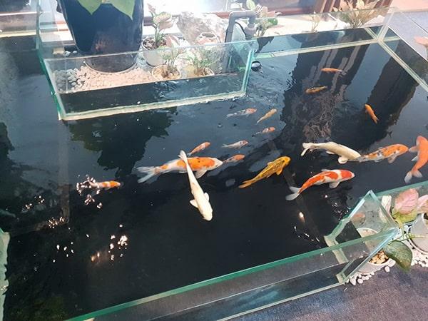 Hệ thống lọc hồ cá koi kính cần đúng tiêu chuẩn