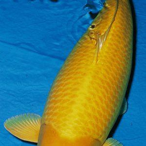 Cá Koi Kigoi