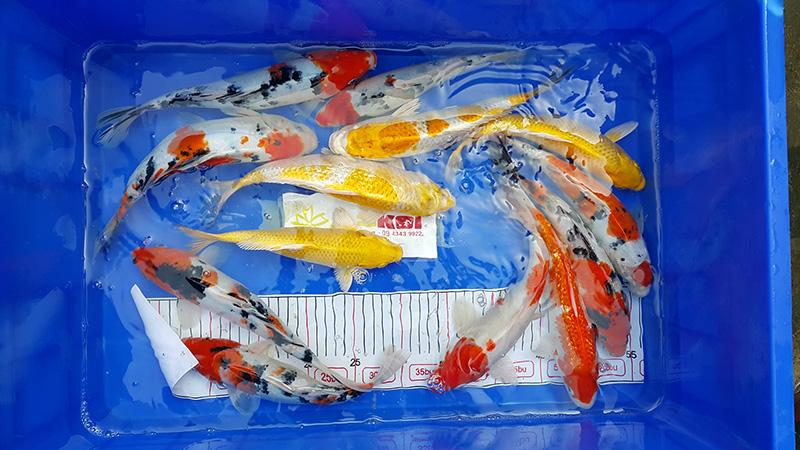 mo-ban-lo-ca-koi-size-20-35-cm-thang-112016-4