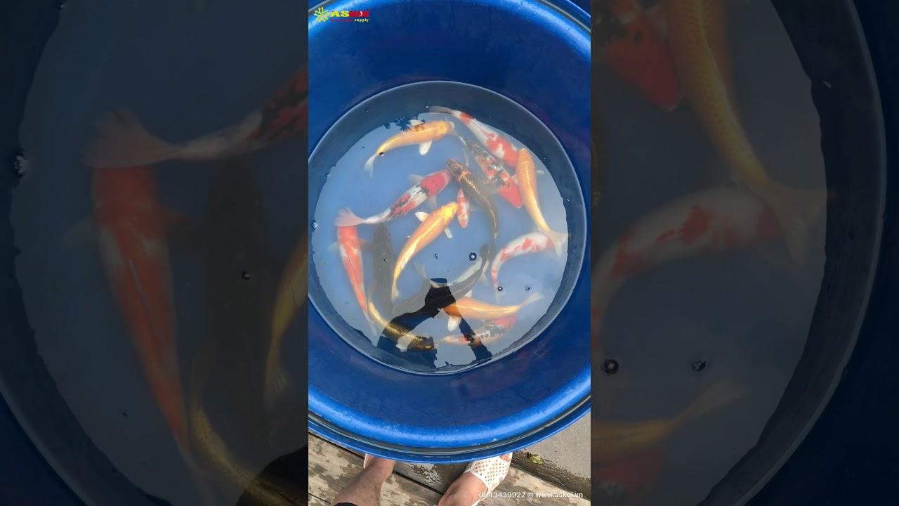 No.2 Cá Koi Việt đẹp Size 35cm – 8/3/2018 – Askoi Farm