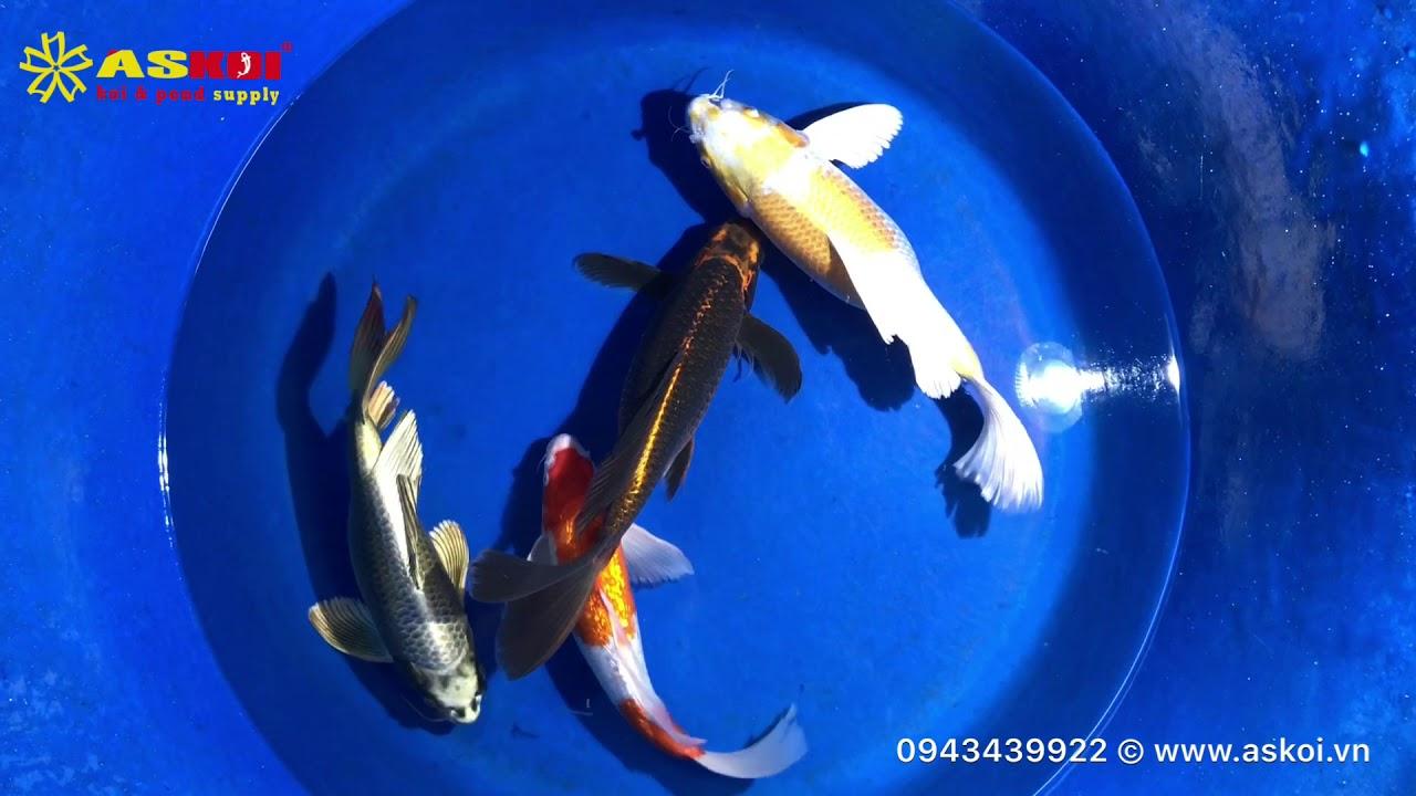 No.5 Cá Koi Bướm Việt đẹp Chất Lượng Cao Size 35-45cm 19/3/2018 – Askoi Farm