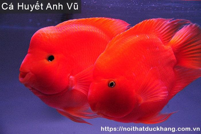 Cá Huyết Anh Vũ hợp người mệnh Thổ